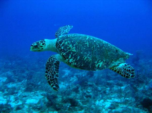 Hawksbill Turtle | Eretmochelys imbricata photo