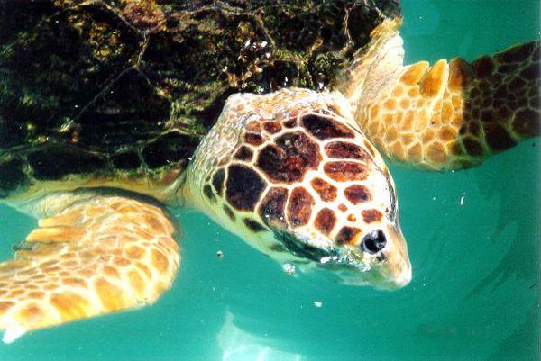 Loggerhead Turtle   Caretta caretta photo