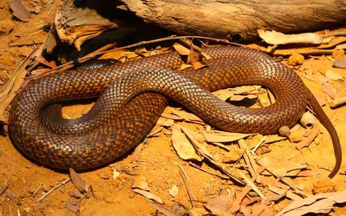 Western Brown snake | Pseudonaja nuchalis photo