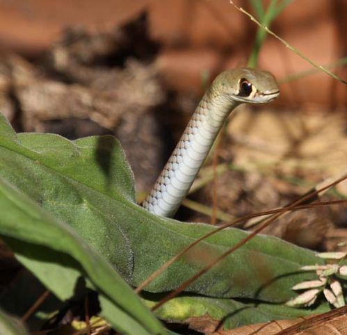Yellow-Faced Whip Snake   Demansia psammophis photo