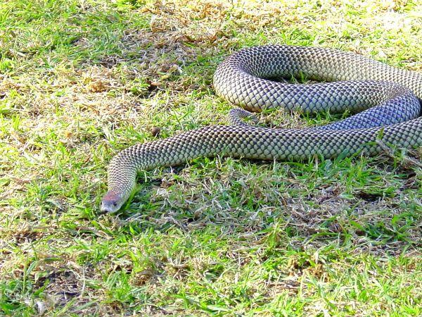 Mulga Snake | Pseudechis australis photo