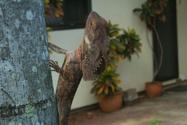 Frilled Lizard | Chlamydosaurus kingii photo