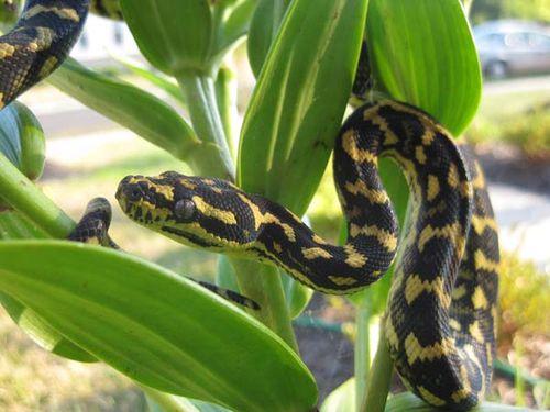 Jungle Carpet python | Morelia spilota cheynei photo