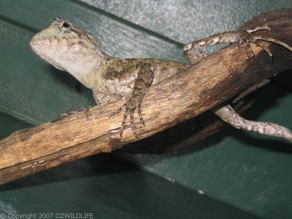 Southern Angle-headed Dragon   Hypsilurus spinipes photo