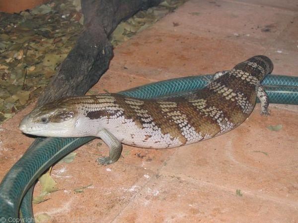 Common Blue Tongue | Tiliqua scincoides photo