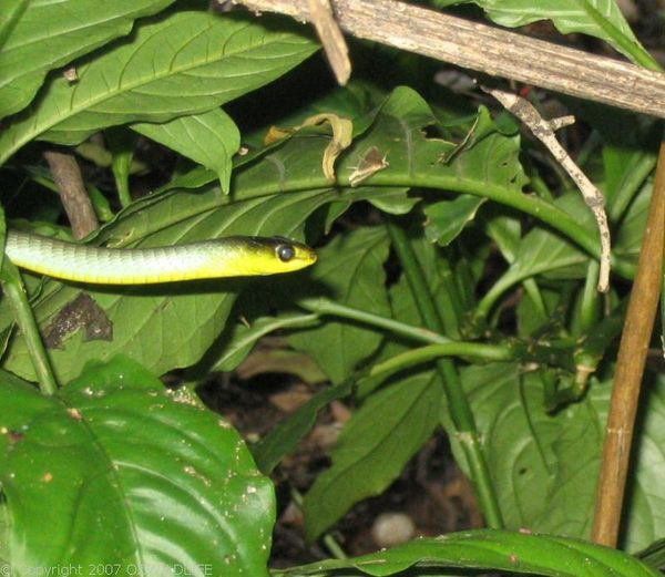 Green Tree Snake   Dendrelaphis punctulata photo