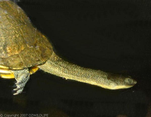 Eastern Snake-necked Turtle | Chelodina longicollis photo