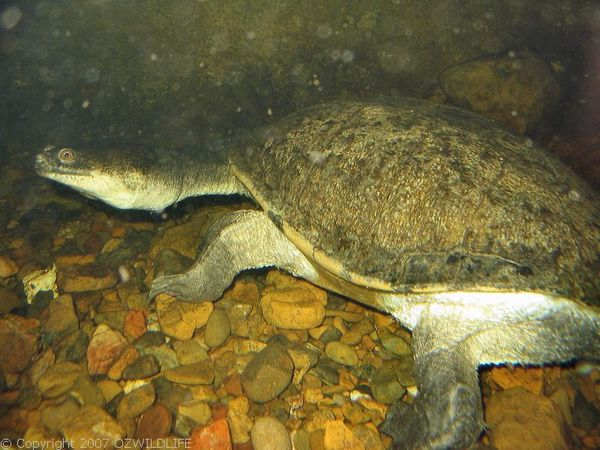 Eastern Snake-necked Turtle | Chelodina longicollis photo