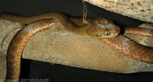 Brown Tree Snake | Boiga irregularis photo