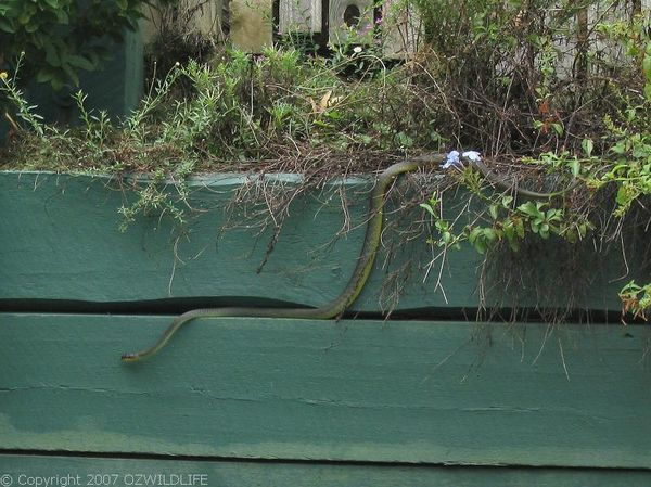 Green Tree Snake | Dendrelaphis punctulata photo