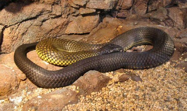 Black Tiger Snake | Notechis ater photo