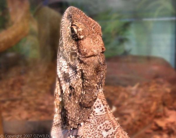 Frilled Lizard | Chlamydosaurus kingii photo