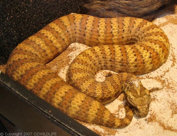 Southern Death Adder | Acanthophis antarcticus photo