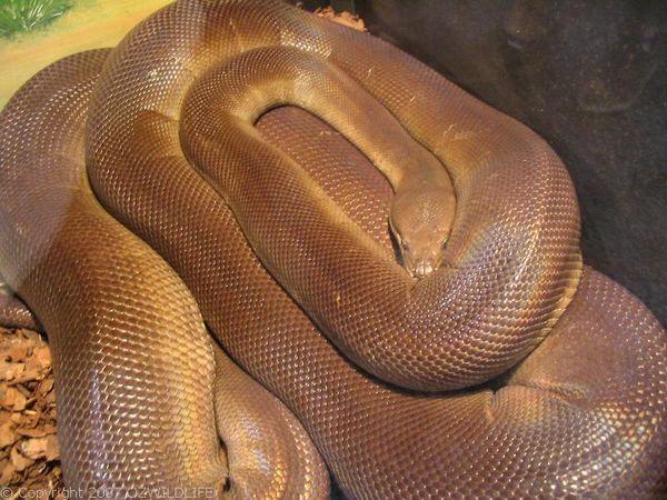 Olive Python | Liasis olivaceus photo