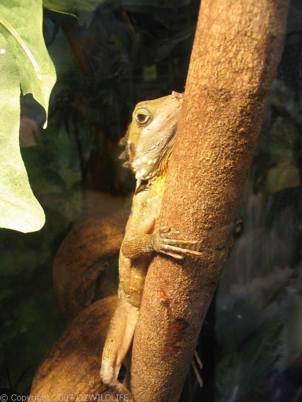 Boyd's Forest Dragon | Hypsilurus boydii photo