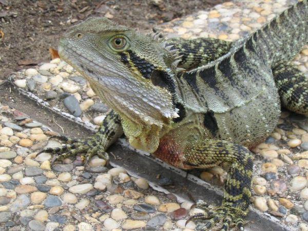 Eastern Water Dragon | Physignathus lesueurii lesueurii photo