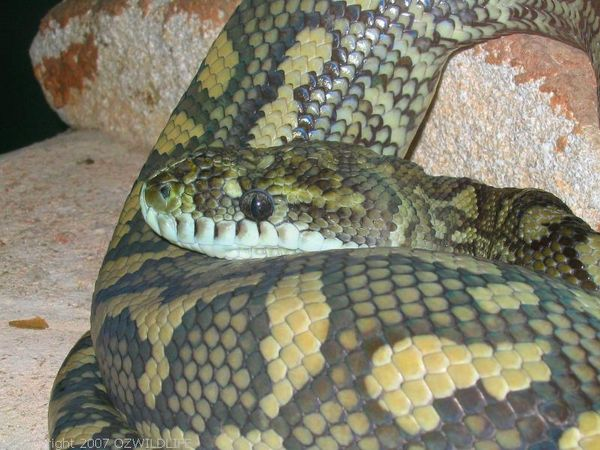 Carpet Python | Morelia spilota photo