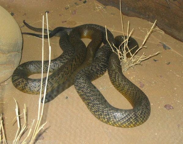 Fierce Snake   Oxyuranus microlepidotus photo