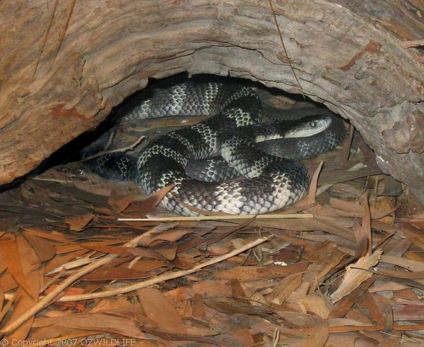 Eastern Tiger Snake | Notechis scutatus photo