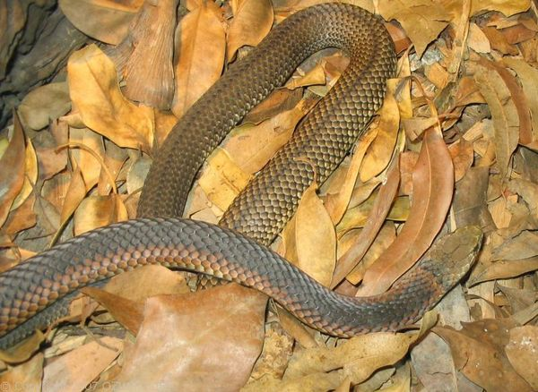 Lowland Copperhead | Austrelaps superbus photo
