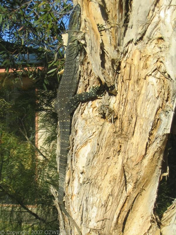 Lace Monitor / Goanna | Varanus varius photo