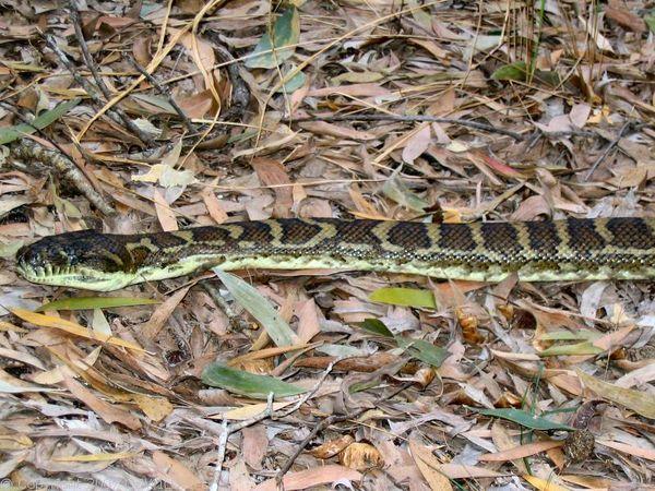 Carpet Python   Morelia spilota photo