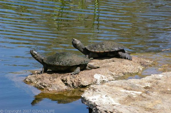 Brisbane Short-necked Turtle | Emydura signata photo