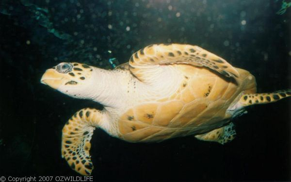 Green Turtle | Chelonia mydas photo