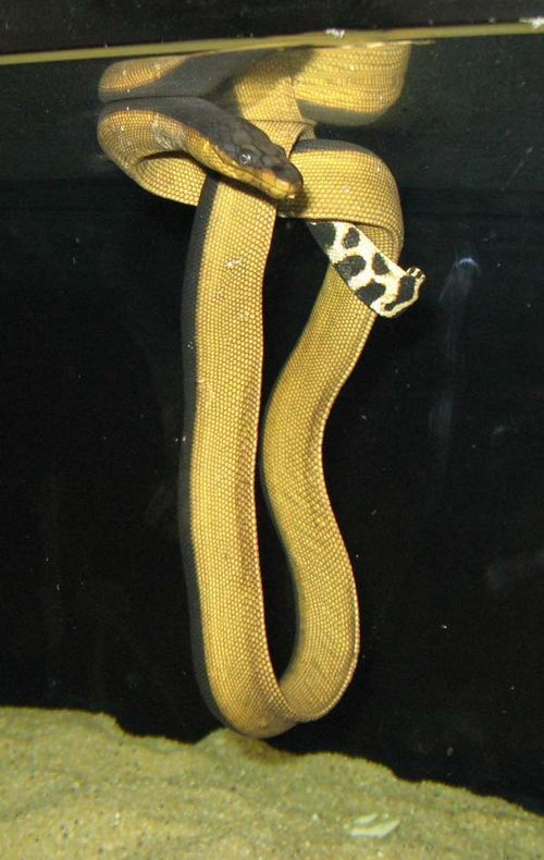 Yellowbelly Sea Snake | Pelamis platurus photo
