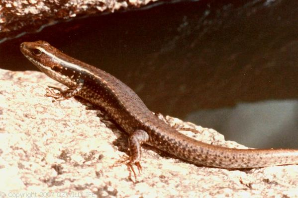 Eastern Water Skink | Eulamprus quoyii photo