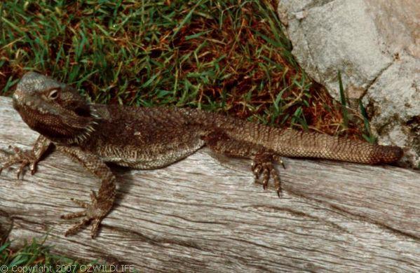 Bearded Dragon | Pogona barbata photo