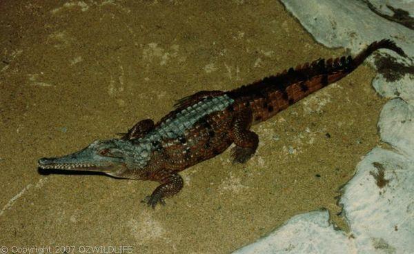Freshwater Crocodile | Crocodylus johnstoni photo