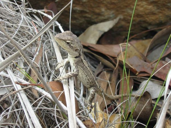 Nobbi Dragon | Amphibolurus nobbi photo