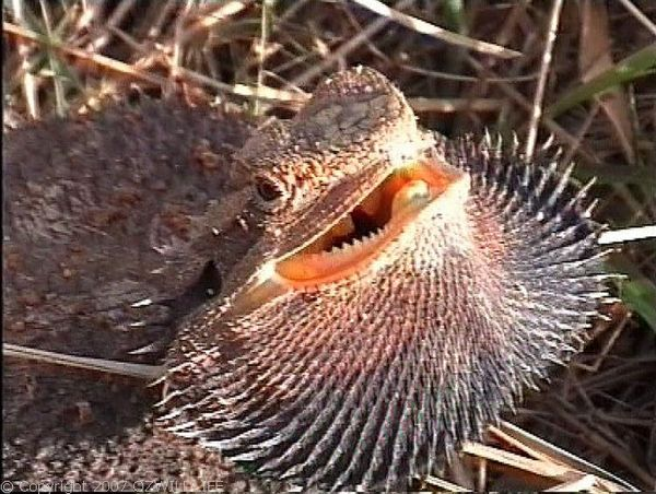 Bearded Dragon | Pogona barbata photo