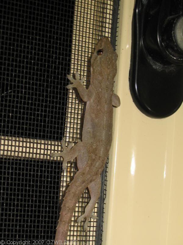 Asian House Gecko | Hemidactylus frenatus photo