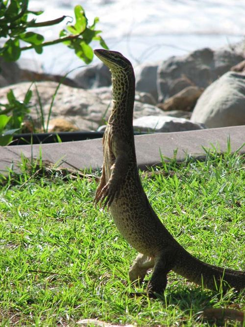 Gould's Monitor | Varanus gouldii photo