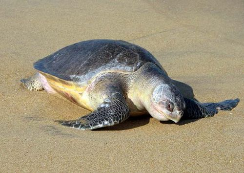 Pacific Ridley Turtle | Lepidochelys olivacea photo