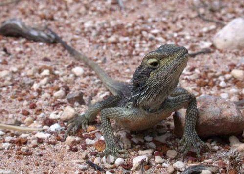 Dwarf Bearded Dragon   Pogona minor minima photo