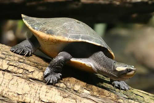 Red-bellied Short-necked Turtle | Emydura subglobosa photo