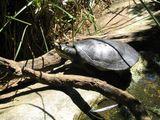 Brisbane Short-necked Turtle