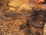 Spotted Black Snake