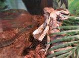 Rough-scaled Snake