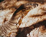 Lace Monitor / Goanna
