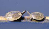 Murray Turtle