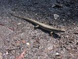 Blue Mountain Water Skink