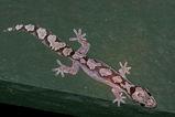 Robust Velvet Gecko