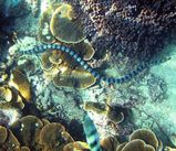 Blue-lipped Sea Krait
