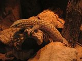 Ridge-tailed Monitor