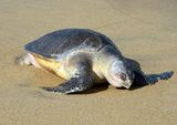 Pacific Ridley Turtle