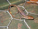 Northern Red-throated Skink